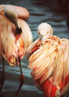 Free Preening Flamingo Stock Photo - 1173160