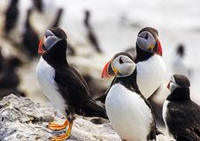 Free Puffins Stock Photo - 1173170