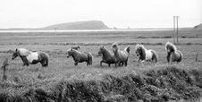 Free Icelandic Horses Royalty Free Stock Image - 1173656