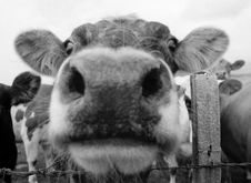Free Cow Mouth 1 Stock Photos - 1173773