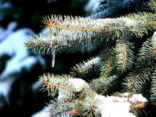 Free Pine Tree Stock Photos - 1174173