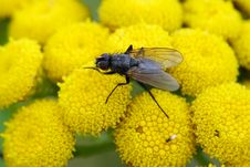 Free Fly On Flowers Stock Photography - 1174422