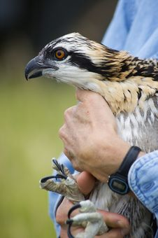 Free Osprey (Pandion Haliaetus) Being Held Royalty Free Stock Image - 1174696