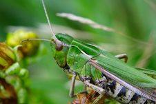 Free Grasshopper On Leafs Stock Photography - 1174732