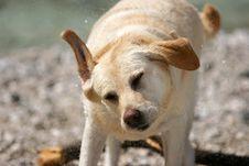 Free Dog Shake Royalty Free Stock Image - 1175306