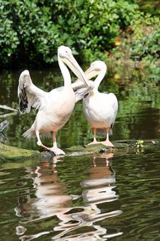 Free Two Pelicans Stock Photos - 1175793