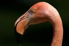 Free Pink Flamingo Portrait Stock Photos - 1178963