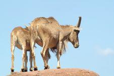 Free Two Goats Stock Photos - 1179293