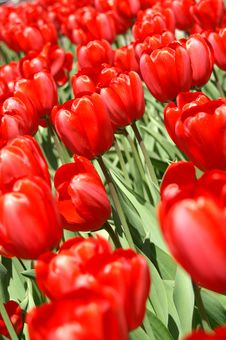 Free Red Tulips Royalty Free Stock Image - 1179306
