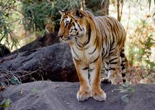 Free Wild Tiger Royalty Free Stock Images - 1179629