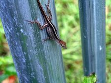 Free Female Brown Anole Lizard Stock Photo - 1179680