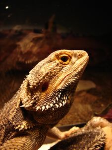 Free Bearded Dragon Royalty Free Stock Photography - 1179817