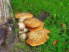 Wild Mushrooms Stock Photography