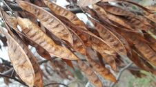 Free Brown And Gold Dried Acacia Pods On The Tree In Fall Season Royalty Free Stock Photography - 117079467