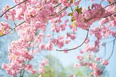 Free Tilt-shift Photography Of Cherry Blossoms Stock Photos - 117112313