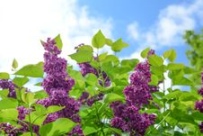 Free Selective Focus Photo Of Purple Cluster Flower At Daytime Royalty Free Stock Photo - 117112395