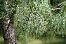 Free Selective Focus Photo Of Pine Tree Royalty Free Stock Photo - 117112545