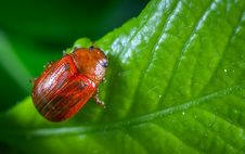 Free Selective Focus Photography Of Red Beetle Perched On Green Leaf Plant Stock Photos - 117112583