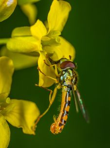 Free Selective Focus Photography Of Yellow Robber Fly Perched On Yellow Petaled Flower Stock Images - 117112584
