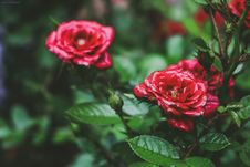 Free Selective Focus Photo Og Red Petaled Flowers Royalty Free Stock Photo - 117112605