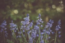 Free Selective Focus Photo Of Purple Bluebell Flower Royalty Free Stock Photo - 117112695
