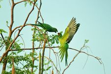Free Two Green Parrots Stock Photography - 117112782