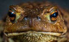 Free Macro Shot Photo Of A Brown Frog Royalty Free Stock Images - 117112899