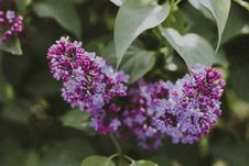 Free Selective Focus Photography Of Purple Lilac Flowers Stock Photo - 117112900