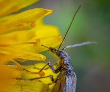Free Brown Long-horned Insect On Yellow Petaled Flower Stock Images - 117112974