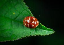 Free Macro Photography Of Red Ladybug Stock Photos - 117112993