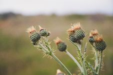Free Selective Focus Photo Of Green Thistle Buds At Daytime Stock Photo - 117113000