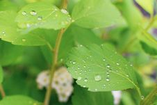 Free Water Droplets On Green Leaves Royalty Free Stock Photography - 117113027