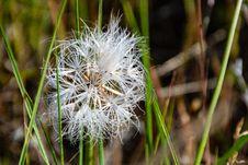 Free White Dandelion Flower At Daytime Stock Photography - 117113032