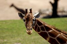 Free Giraffe Stock Photography - 11727232