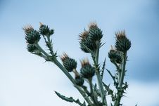Free Green Thistle Flower Buds Pin Bloom At Daytime Royalty Free Stock Photography - 117200647