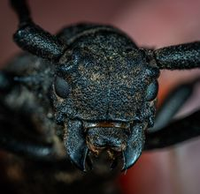 Free Black Beetle In Macro Photography Royalty Free Stock Photography - 117200687