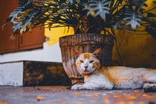 Free Short-fur Orange And White Cat Lies Next To Beige Plant Pot With Green Leaf Plant Stock Photos - 117352483