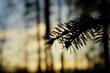Free Close-Up Photography Of Pine Leaves Stock Photography - 117352712