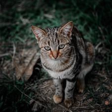Free Shallow Focus Photography Of Brown, Black, And Gray Tabby Cat Royalty Free Stock Image - 117352846