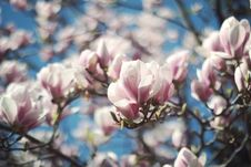 Free Selective Focus Photo Of White-and-pink Petaled Flowers Royalty Free Stock Images - 117352869