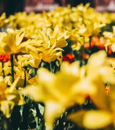 Free Bed Of Yellow Petal Flower Royalty Free Stock Photography - 117352897