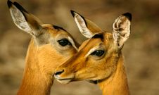 Free Photo Of Two Brown Deers Stock Image - 117486191
