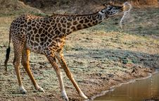Free Giraffe Drinking Water Stock Photos - 117486193