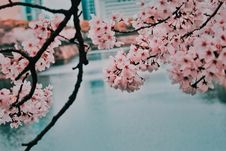 Free Cherry Blossom Beside Body Of Water Royalty Free Stock Image - 117486196