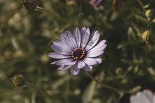 Free Selective Focus Photography Of Purple Osteospermum Flower Stock Photography - 117486302