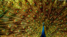 Free Closeup Photo Of Brown And Blue Peacock Stock Photos - 117486303