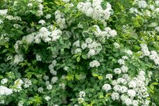 Free Spring Spirea Bloom Royalty Free Stock Photos - 117491778
