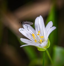 Free Black Fly On White Clustered Flower Stock Photo - 117536930