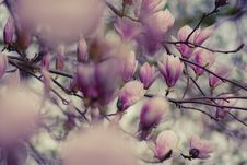 Free Close-up Photography Of Magnolia Flowers Royalty Free Stock Image - 117608636