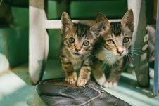 Free Two Brown Tabby Kittens Royalty Free Stock Photos - 117608668